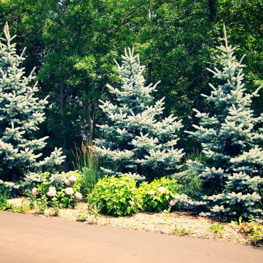 screen-screening-trees-hoopsii-spruce-lakeville-mn